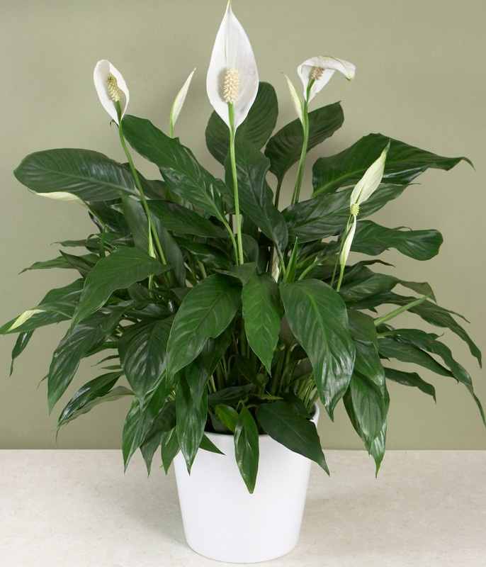 Captivating House Plants Pictures Plants Home Plans Ideas Picture On Common House Plants  .